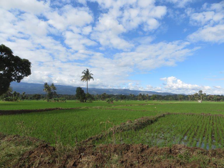 Rice paddy Moshi